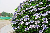 紫陽花八景島.jpg