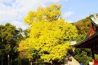 鎌倉鶴岡八幡宮の大銀杏.jpg